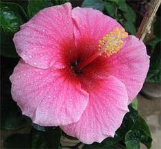 hibiscus patio roz 1 hibiscus hibiscus pinterest hibiscus