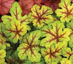 heuchera alabama sunrise  (foamybells) full-part shade, blooms may-june, front door walkway, woodland garden