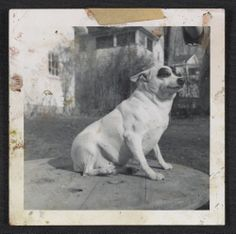 Dog seated on a table, 195-? / Honoré Desmond Sharrer, photographer. Honoré Sharrer papers, Archives of American Art, Smithsonian Institution.