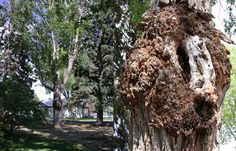 NMSU Plant Clinic: Featured Diagnosis: Crown Gall (Agrobacterium tume...