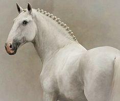 Baroque Puro Sangue Lusitano stallion, Galileu Das Salgadas. photo: Rita Fernandes.