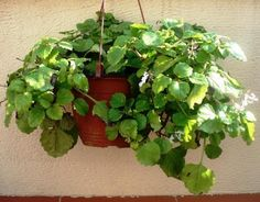 Swedish ivy is one of the easiest plants to grow indoors or out. It is a prostrate evergreen perennial forming a mat to tall. Easy Plants To Grow, Growing Plants Indoors, Bougainvillea Tree, Flower Places, Small White Flowers, Low Maintenance Garden, Gardening For Beginners, Feng Shui, Garden Inspiration