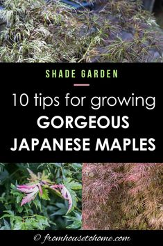 These tips for growing Japanese Maples are the BEST! The hints on fertilizing, pruning and growing in containers (among other things) are very helpful! Now I know how to grow Japanese Maples in the shade garden in my backyard. Shade Perennials, Shade Plants, Japanese Maple Tree Care, Gardening For Beginners, Gardening Tips, Japenese Maple, Shade Loving Shrubs, Plants Under Trees, Shade Garden