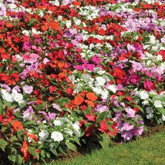 New Guinea impatients ~ wonderful spreading plants for pots or beds