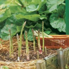 Asparagus is one of the tastiest, easiest vegetables you can g row. A little work up front pays off with years of good eating. Find out how to plant and manage this quintessential spring crop. gardening