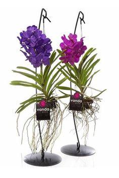 1000 images about vanda on pinterest vanda orchids glass vase and vase. Black Bedroom Furniture Sets. Home Design Ideas
