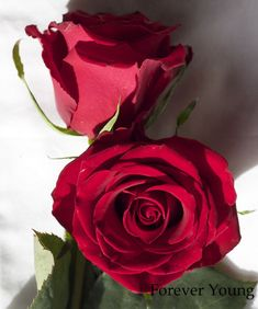 Rp Red Rose Forever Young Never Opened Up Much Stayed A Traditional