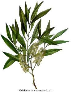 Tea Tree Oil - Herb Uses, Side Effects and Health Benefits