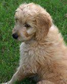 FAQ: Goldendoodles