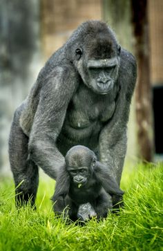 Monkey - Gorilla and Baby Cute Baby Animals, Animals And Pets, Funny Animals, Los Primates, Baby Gorillas, Ape Monkey, Mountain Gorilla, Mundo Animal, Belle Photo