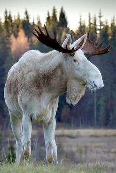 White Bull Moose