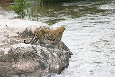 Leopard crossing the flooded Sabi River
