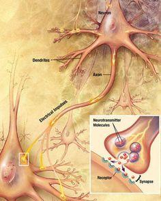 El proceso de transmisión sináptica #neuroscience
