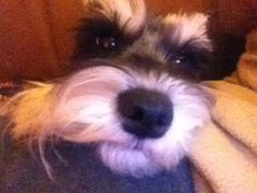 Suzee Bee | A community of Schnauzer lovers!