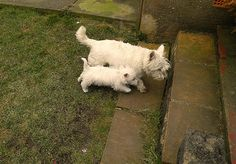 Toby and Ted Westie Puppies, Westies, Dogs And Puppies, Cairn Terrier, Terrier Dogs, Cute Doge, Funny Animals, Cute Animals, West Highland White