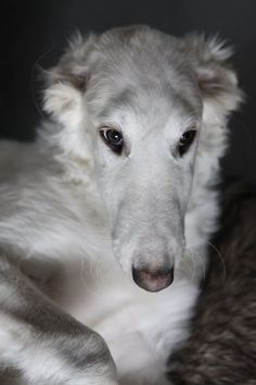 Borzoi puppy- GO GO BOLSHOI BARINYA