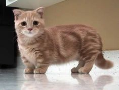 Funny pictures about The Munchkin Cat. Oh, and cool pics about The Munchkin Cat. Also, The Munchkin Cat photos. Cool Cats, I Love Cats, Crazy Cats, Gato Munchkin, Funny Animals, Baby Animals, Cute Animals, Cute Kittens, Cats And Kittens