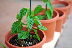 Growing Chillies: Fertilizing chilli plants