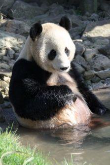 Yang Guang, Tian Tian, Edinburgh Zoo