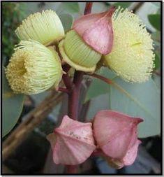 Rose de l/'Occident graines. macrocarpa Hardy Eucalyptus mottlecah E