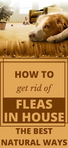 How To Get Rid Of Fleas In House – The Best Natural Ways