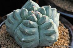 Astrophytum myriostigma cv. Kikko nudum