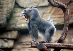 Old World monkey primate