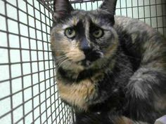 RESCUED!!! 3/15/17 * Networking appreciated and encouraged but NO PLEDGING please. Thank you!  BERTRILLE -- ID# A667477  Temperament: RESCUE ONLY - A  I am a Female Tortie Domestic Shorthair.  The shelter staff think I am an unknown age.  I have been at the shelter since March 10, 2017.  I will be available for rescue on March 15, 2017.  I am currently at Devore Shelter in San Bernardino, CA * https://www.facebook.com/videosofdevorecats/videos/1221564791214455/