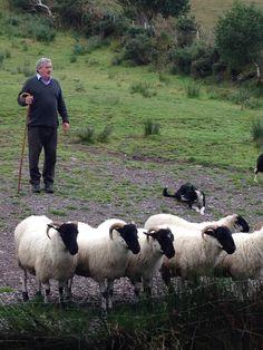 Killarney Ireland, amazing shepherd and his dogs.....Very fun man....his dogs are amazing:)