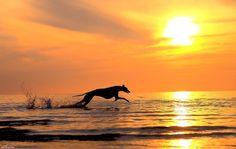 Greyhound at sunset