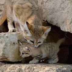 Rare Sand Cat kitten born at Israel's Zoological Center Tel Aviv Ramat Fan - Safari. Three weeks ago, the kitten's mother Rotem refused to go into the night chamber at the end of the day. Keepers let her stay outside and the next night she gave birth to a tiny baby in the den in the outdoor enclosure. Keepers first saw the kitten when it poked it's tiny head and looked out from the den.