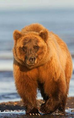 Gorgeous Ginger Grizzly!