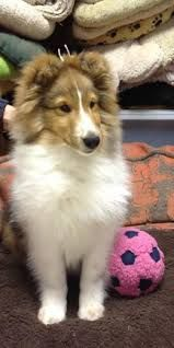 Sheltie with her ball