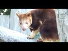 Too Cute! Goodfellow's Tree Kangaroo.セスジキノボリカンガルー。