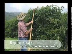 Podas del cultivo de aguacate. - YouTube