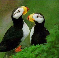 Puffins....love the brillaint colors and their expressions..........
