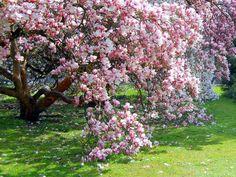 Magnolia en flor