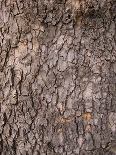 tree Bark ...  background, bark, brown, close-up, closeup, detail, dry, environment, forest, material, natural, nature, oak, old, pattern, plant, redwood, skin, surface, texture, textured, timber, tree, trunk, white, wood, wooden
