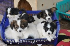"Papillon - a basket of puppies   This chokes me up !! One of my little patients used to say ""you're cuter than a basket of puppies"" ... awwww"