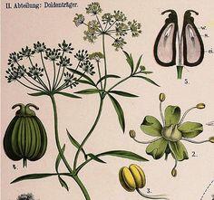 Petroselinum ...
