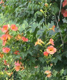 ノウゼンカズラのPHOTO 1 - みんなの花図鑑(掲載数:3,406件)