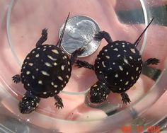 baby spotted turtle...