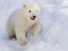 Kali, the orphaned Polar Bear playing in the snow