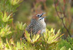 From Wikiwand: Macrosphenidae