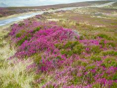 North Yorkshire moors, with heather blooming September
