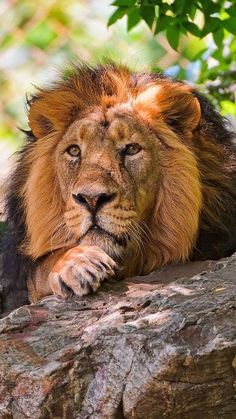 Lion gaze / NATURE