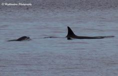 Orcas, Humpbacks & more! What a trip we had today with Orcas, Humpbacks, Porpoise & Eagles :) We encountered the Transient Orcas south west of Constance Bank heading east. Orcas, Five Star, Whale Watching, Stars, Animals, Killer Whales, Animales, Animaux, Animal