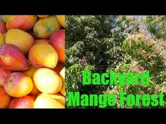 Incredible Mango Tree Forest in Phoenix, Arizona - Wow! Check out the amazing garden in this Phoenix, Arizona area backyard Mango Tree Fruit Tree Forest! Ama...