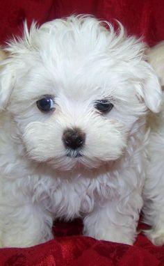 Maltese. Tailsofmydog.co #maltese. Tailsofmydog.com