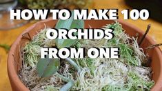 How to Make 100 Orchids From One Without Keiki Paste - YouTube